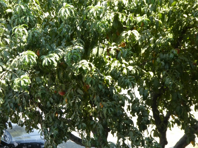 Peach Trees on Property